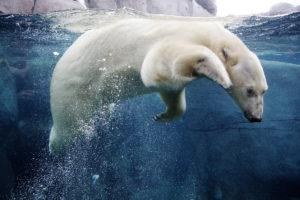 Белый медведь в ледяной воде