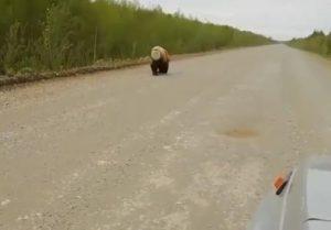 Может погибнуть медведь