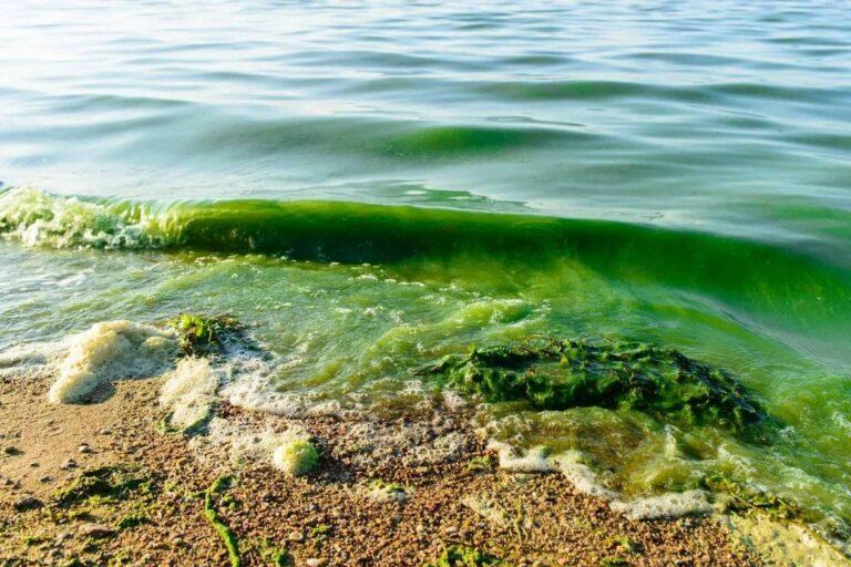 Цветение водорослей в Авачинском заливе может быть связано с повышением средней температуры воздуха